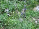 Ozkolistna preobjeda (Aconitum angustifolium)