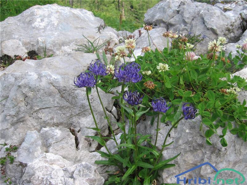Glavičasti repuš (Phyteuma orbiculare) - PictureGlavičasti repuš (Phyteuma orbiculare)