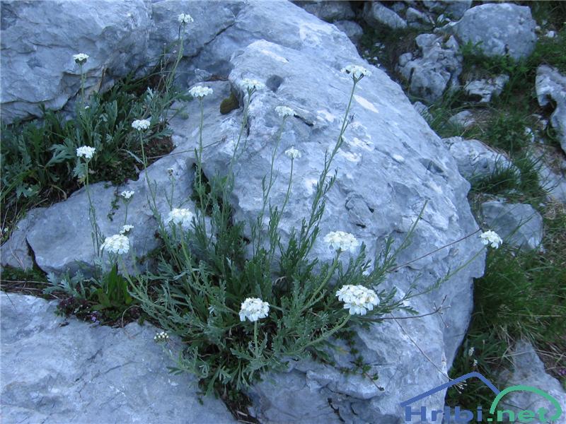 Planinski pelin (Achillea clavenae) - PicturePlaninski pelin (Achillea clavenae)