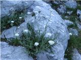 Planinski pelin (Achillea clavenae)