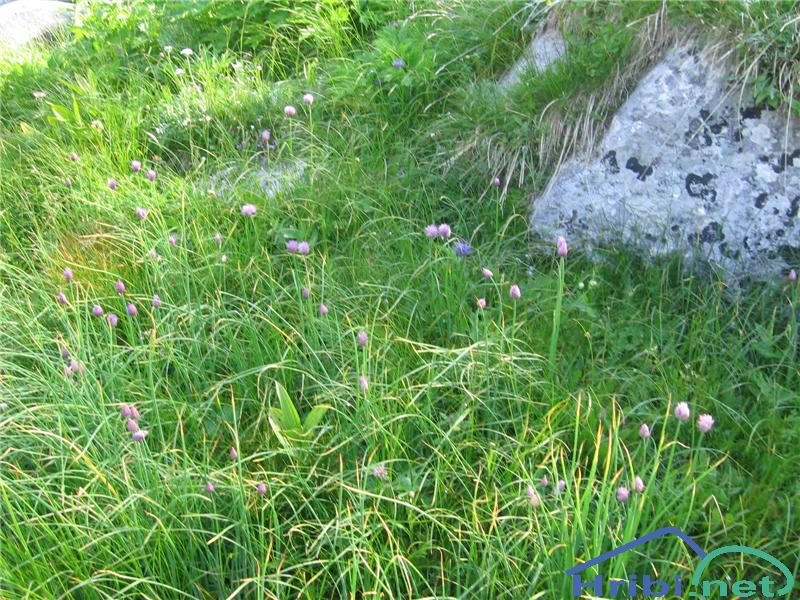 Planinski Drobnjak (Allium Schoenoprasum) - SlikaPlaninski Drobnjak (Allium Schoenoprasum)