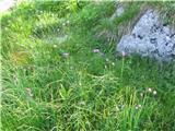 Planinski Drobnjak (Allium Schoenoprasum)
