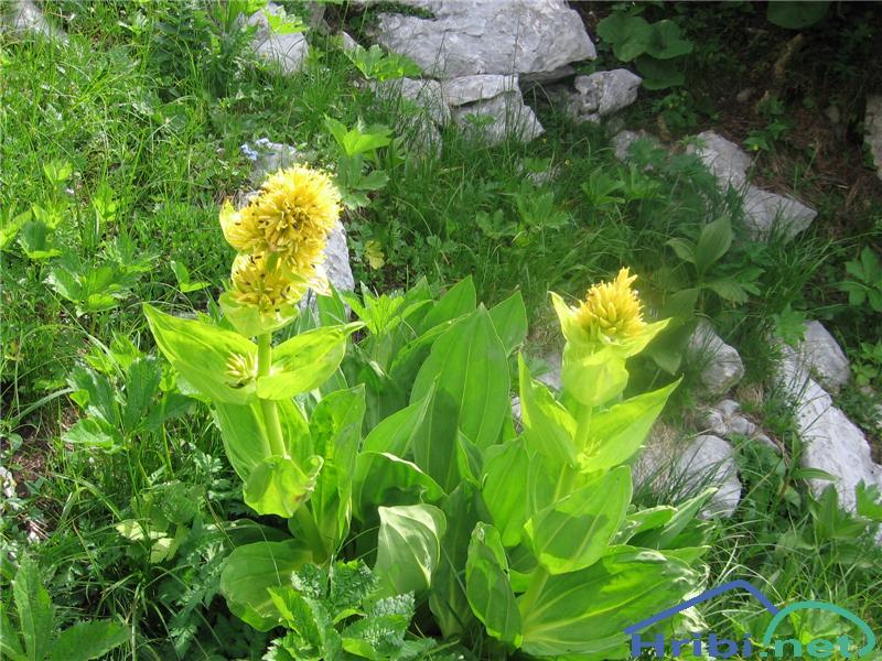 Vardjanov ali prostoprašnični svišč ali košutnik - SlikaVardjanov svišč (Gentiana lutea)