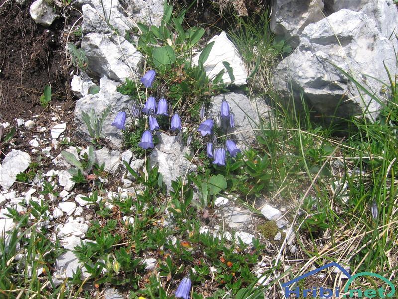 Trebušasta zvončica (Campanula cochleariifolia) - SlikaTrebušasta zvončica (Campanula cochleariifolia)