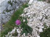 Alpski bodak (Carduus defloratus defloratus)