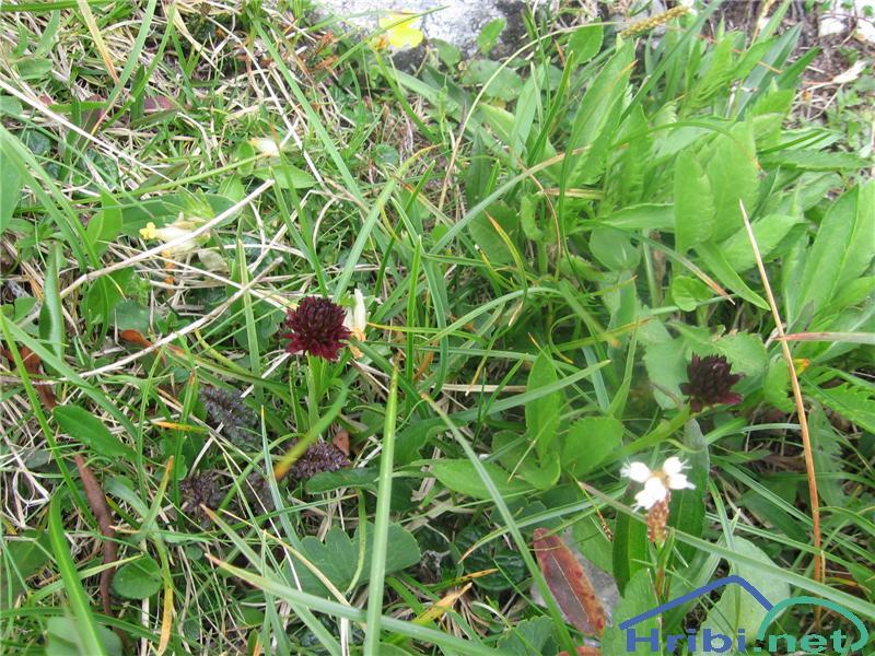 Relikanijeva murka (Nigritella rhellicani) - PictureRelikanijeva murka (Nigritella rhellicani)