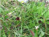 Relikanijeva murka (Nigritella rhellicani)