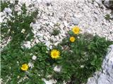 Doronicum glacialed