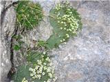 Nasršeni kamnokreč (Saxifraga squarrosa)