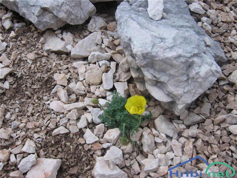 Kernerjev mak (Papaver alpinum kerneri) - PictureKernerjev mak (Papaver alpinum kerneri)