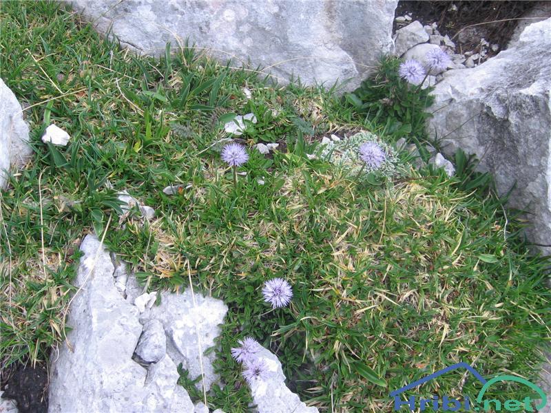 Golostebelna mračica (Globularia nudicaulis) - PictureGolostebelna mračica (Globularia nudicaulis)