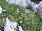 Golostebelna mračica (Globularia nudicaulis)