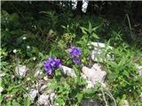 Klobčasta zvončica (Campanula Glomerata)