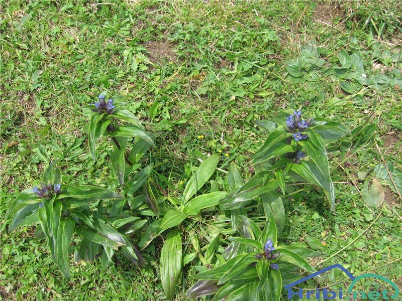Navzkrižnolistni svišč (Gentiana cruciata) - SlikaNavzkrižnolistni svišč (Gentiana cruciata)