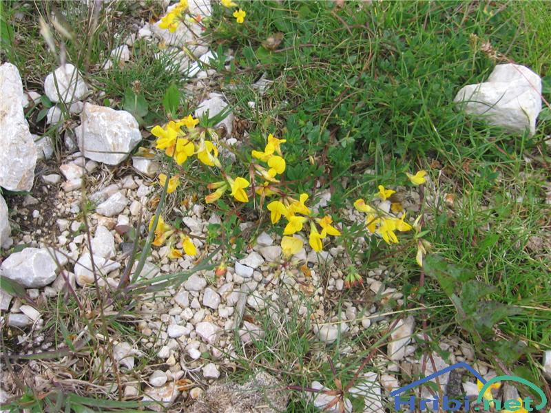 Navadna nokota (Lotus corniculatus) - PictureNavadna nokota (Lotus corniculatus)