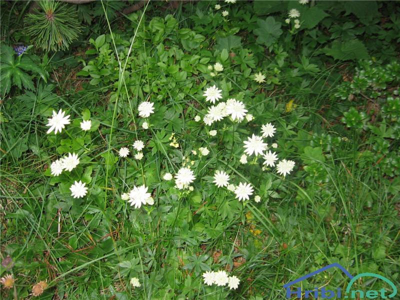 Bavarski zali kobulček (Astrantia bavarica) - SlikaBavarski zali kobulček (Astrantia bavarica)