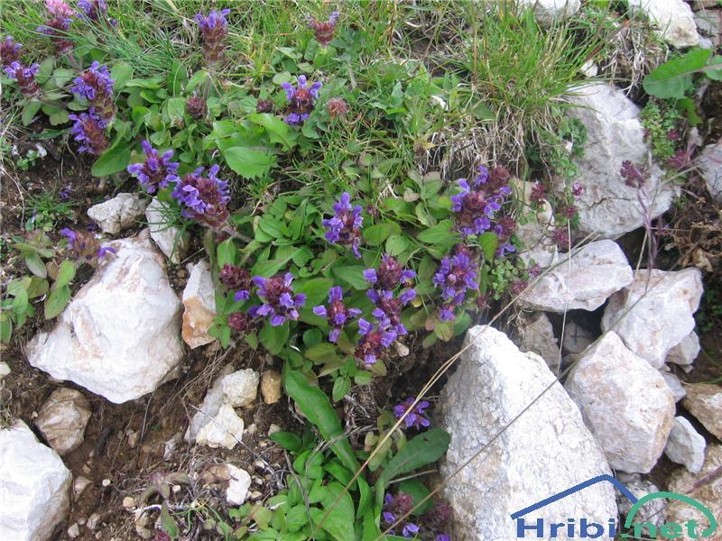 Navadna črnoglavka (Prunella vulgaris) - PictureNavadna črnoglavka (Prunella vulgaris)
