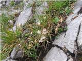Asperula aristata