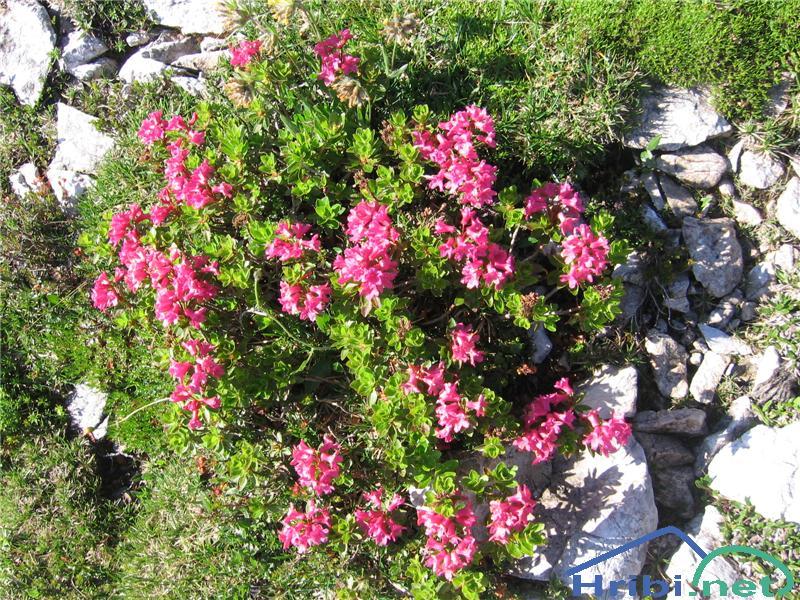 Dlakavi sleč (Rhododendron hirsutum) - SlikaDlakavi sleč (Rhododendron hirsutum)
