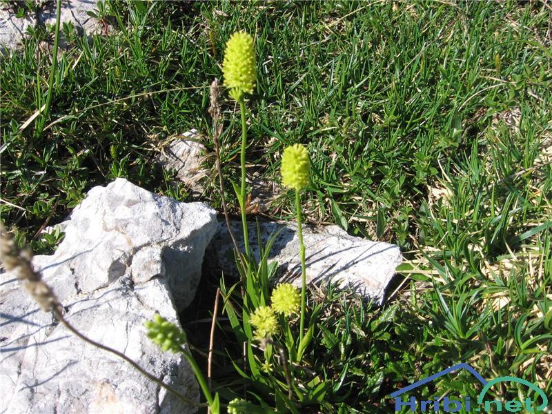 Navadna žiljka (Tofieldia calyculata) - SlikaNavadna žiljka (Tofieldia calyculata)