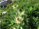 Trnati osat (Cirsium spinosissimum)