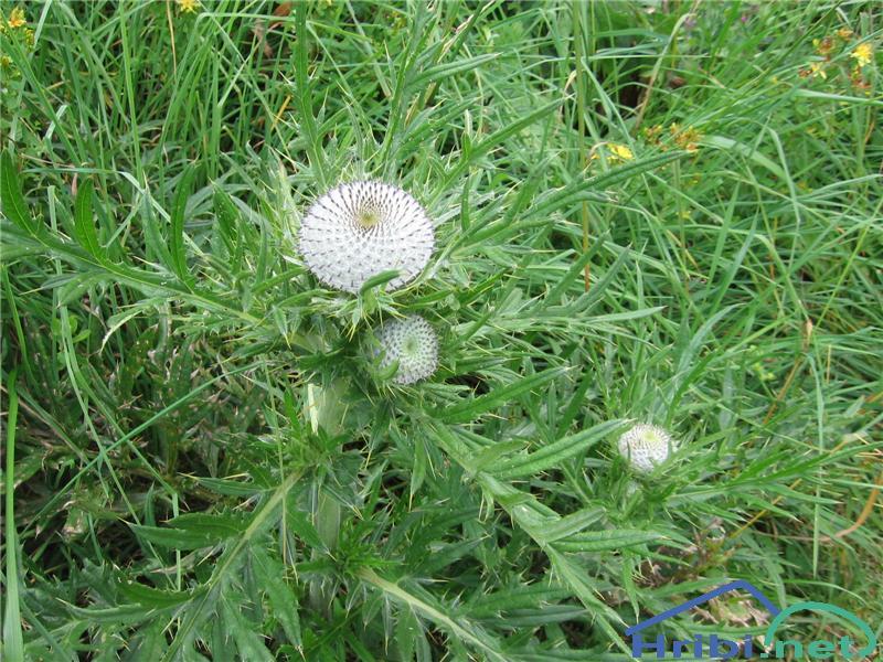 Volnatoglavi osat (Cirsium eriophorum) - SlikaVolnatoglavi osat (Cirsium eriophorum)