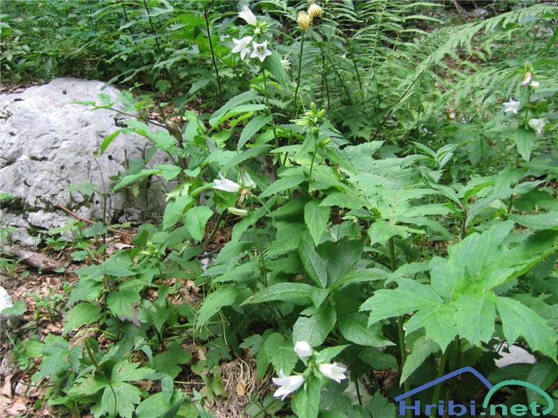 Koprivasta zvončica (Campanula trachelium) - PictureKoprivasta zvončica (Campanula trachelium)