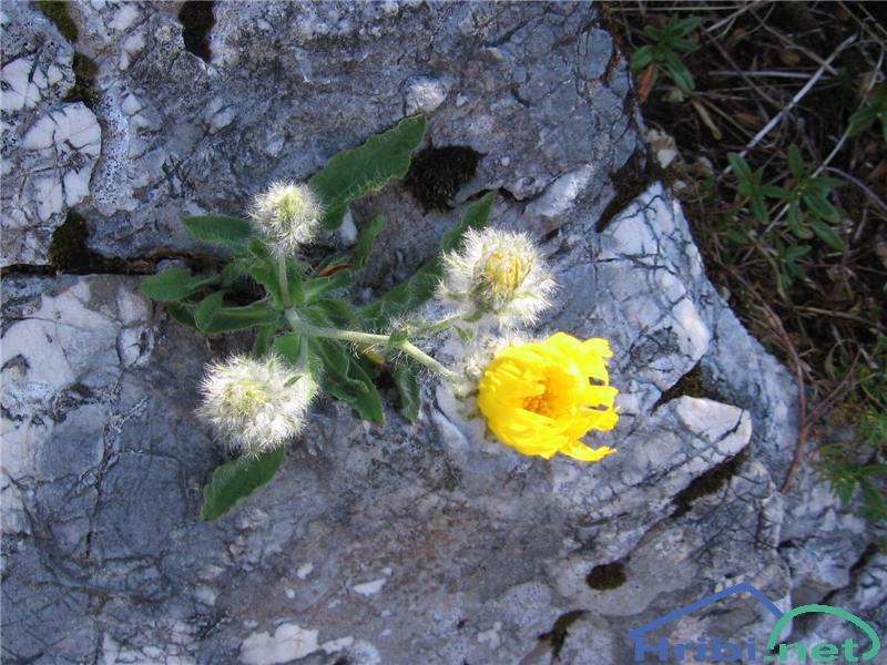 Kosmata škržolica (Hieracium villosum) - PictureKosmata škržolica (Hieracium villosum)