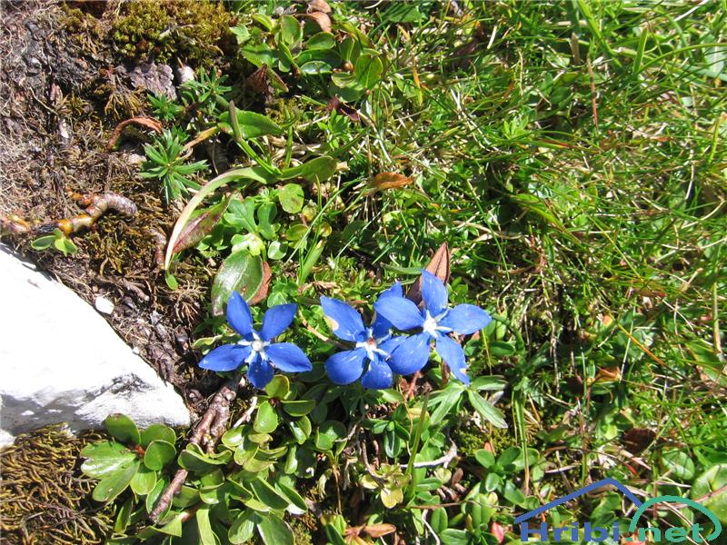 Nizki svišč (Gentiana pumila) - PictureNizki svišč (Gentiana pumila)