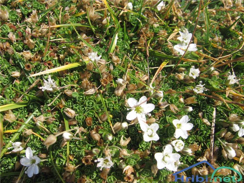Gerardova črvinka (Minuartia verna ssp. gerardii) - SlikaGerardova črvinka (Minuartia verna ssp. gerardii)