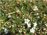 Gerardova črvinka (Minuartia verna ssp. gerardii)