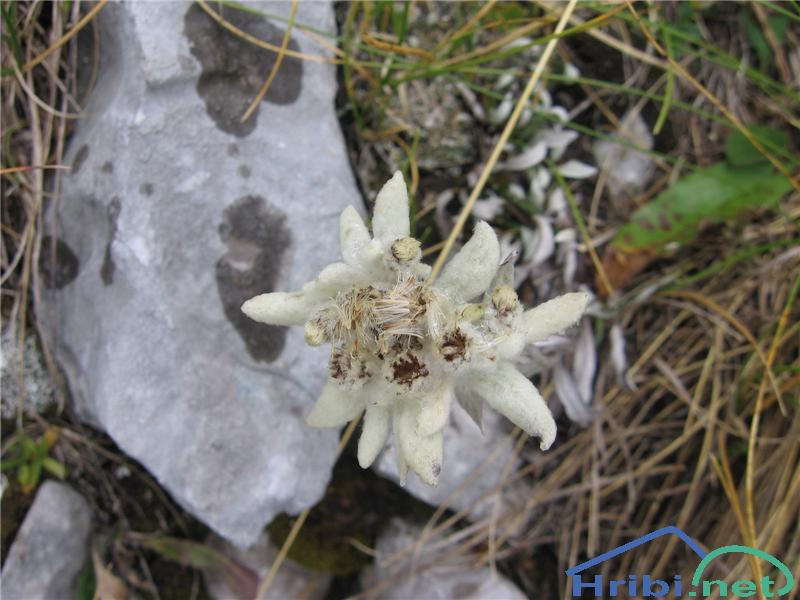 Planika ali očnica (Leontopodium alpinum) - PicturePlanika ali očnica (Leontopodium alpinum)