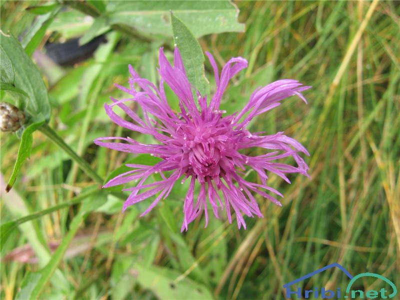 Navadni glavinec (Centaurea jacea) - PictureNavadni glavinec (Centaurea jacea)