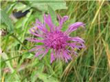 Navadni glavinec (Centaurea jacea)