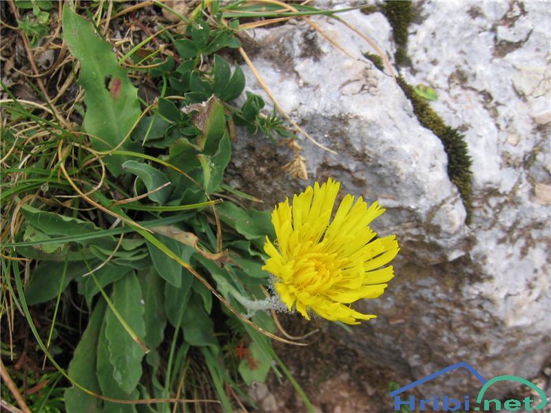 Kosmata škržolica (Hieracium villosum) - SlikaKosmata škržolica (Hieracium villosum)