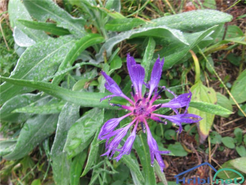 Gorski glavinec (Centaurea montana) - SlikaGorski glavinec (Centaurea montana)