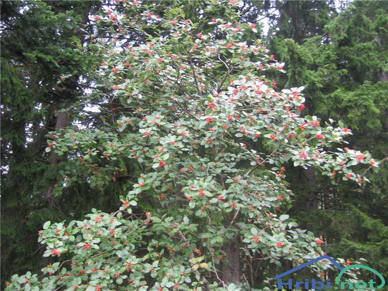 Navadna jerebika (Sorbus aucuparia) - PictureNavadna jerebika (Sorbus aucuparia)
