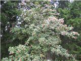 Navadna jerebika (Sorbus aucuparia)