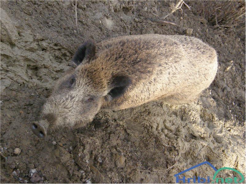 Divja svinja (Sus scrofa) - PictureDivja svinja pri Ilirski Bistrici.