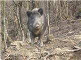 Divja svinja (Sus scrofa)