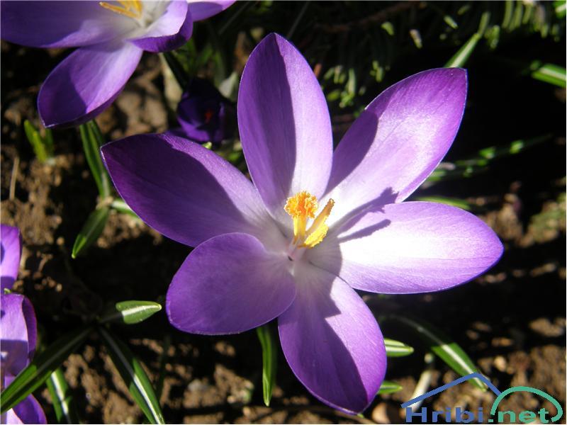 Pomladanski žafran (Crocus vernus) - SlikaPomladanski žafran, slikan marca na Velikem Kozju.