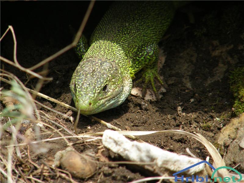 Navadni zelenec (Lacerta viridis) - SlikaNavadni zelenec.