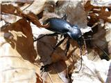 Hrošči (Coleoptera)