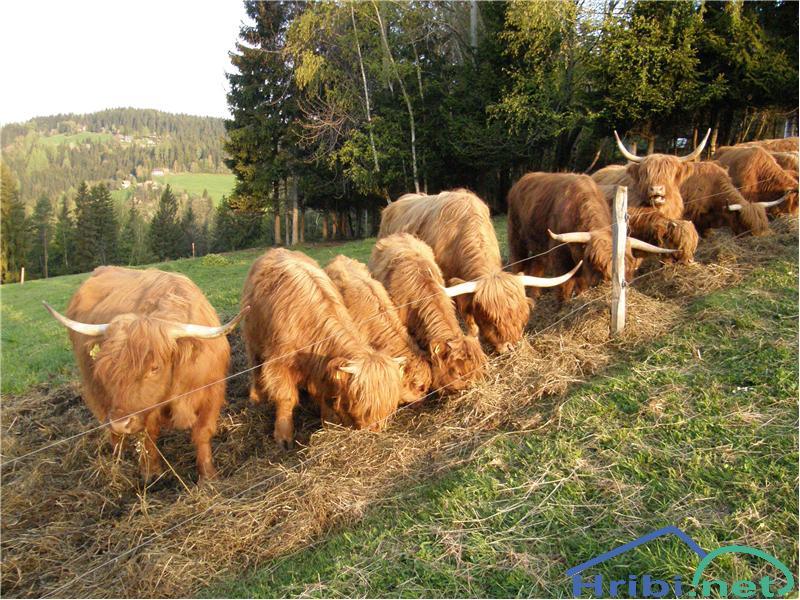 Škotsko govedo (Hairy Coo) - Picture
