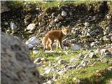 Lisica (Vulpes vulpes)