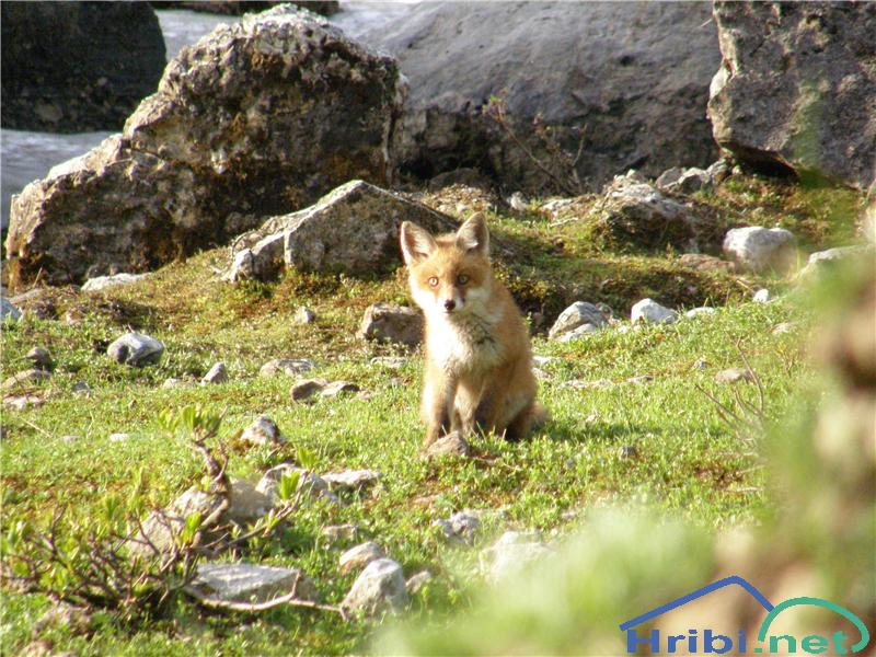 Lisica (Vulpes vulpes) - Picture