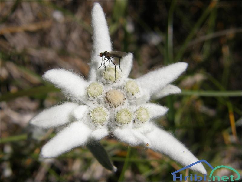 Planika ali očnica (Leontopodium alpinum) - SlikaPlanika, slikana konec julija na Bogatinskem sedlu.