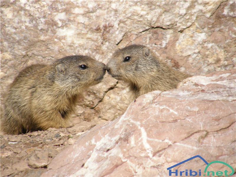 Alpski svizec (Marmota marmota) - Picture