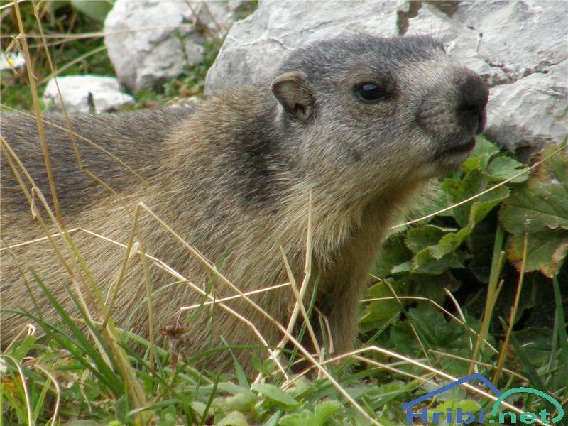 Alpski svizec (Marmota marmota) - PictureSvizec ob poti od Zgornje Krme proti Staničevemu domu.