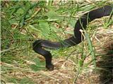 Guja (Vipera berus)